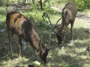 Menjangan Island deer