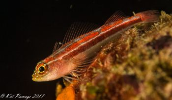 Striped triplefin blenny
