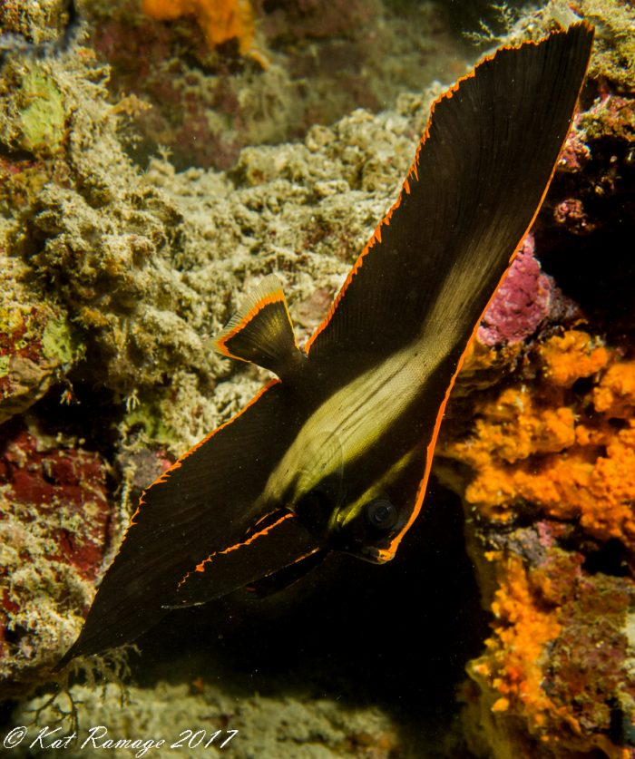 Batfish/Spadefish in the intermediate stage