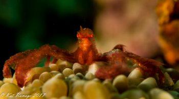 Orangutan Crab (Achaeus japonicus)