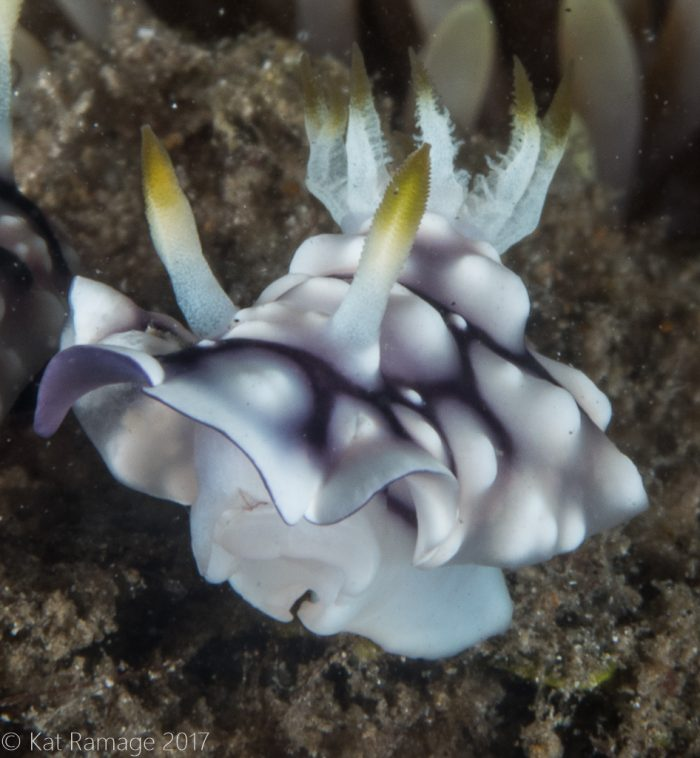 Mucky Pirates Bay, Pemuteran, Bali, Indonesia, Chromodoris, nudibranch