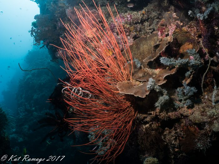 Red whip coral at Dreamland