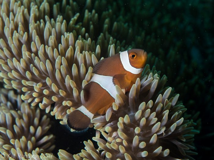 False clownfish, Pemuteran, Bali, Mucky Pirates Bay, shore dive, Sea Rovers