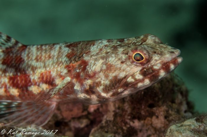 Lizardfish posing on a rock