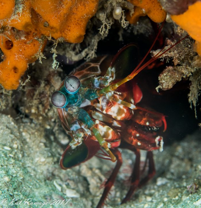 Mantis shrimp peeking out from his hole