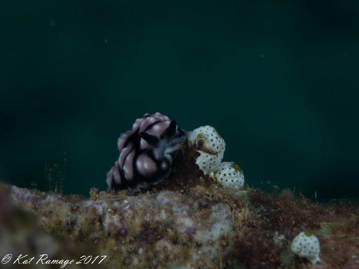 Nudibranch (Phylidiella pustulosa)
