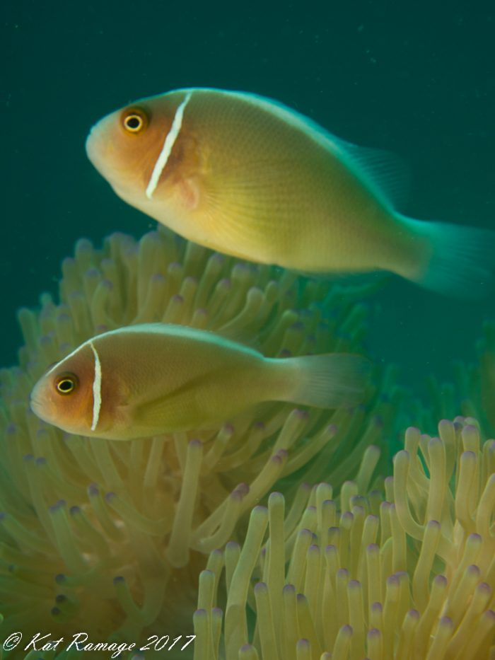 Pink anemonefish pair above purple-tipped anemone
