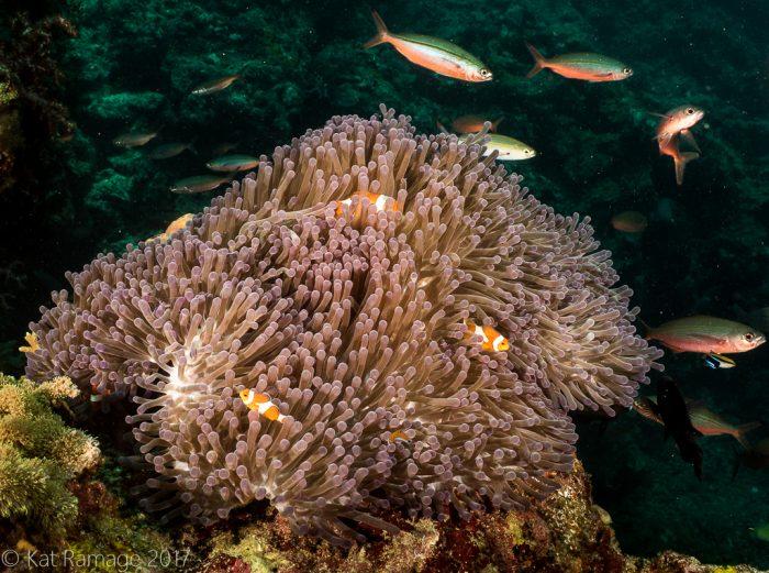 Mangrove, Menjangan, Bali, Indonesia, anemone, false clownfish