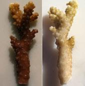 Sunscreen, coral bleaching