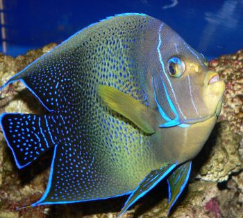 Semicircular angelfish, Wikipedia