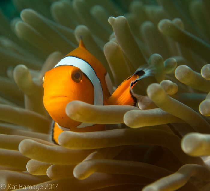 False clownfish, anemone, Pemuteran, Bali, Indonesia, Underwater Photos