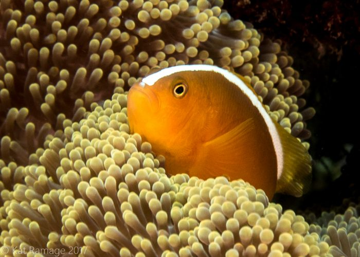 Orange anemonefish, Mangrove, Menjangan, Bali, Indonesia, underwater photo