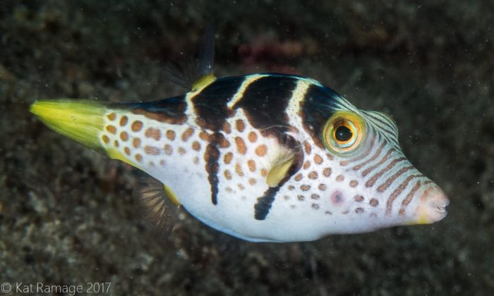 Black saddled pufferfish, Mucky Pirates Bay, Pemuteran, Bali, Indonesia