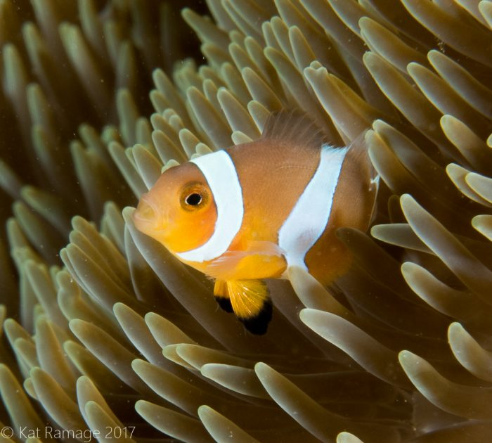 False clownfish, Mucky Pirates Bay, Pemuteran, Bali, Indonesia