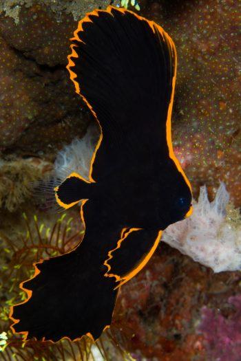 Juvenile batfish/spadefish from Todd Aki