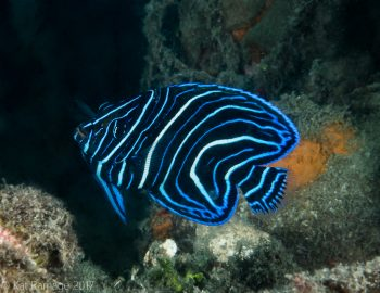 Semicircular angelfish, Mucky Pirates Bay, Pemuteran, Bali, Indonesia, underwater photo
