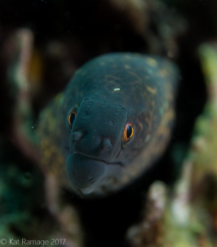 Moray eel, Mucky Pirates Bay, Pemuteran, Bali, Indonesia
