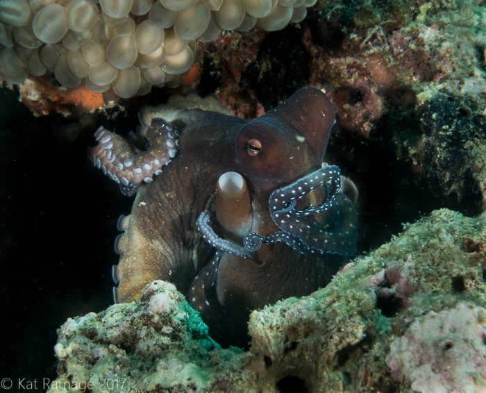 Octopus, Midway, Pemuteran, Bali, Indonesia, Underwater photo