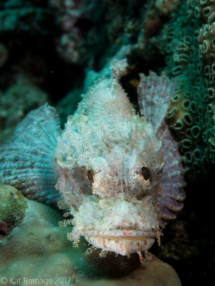 scorpionfish, Midway, Pemuteran, Bali, Indonesia, Underwater photo