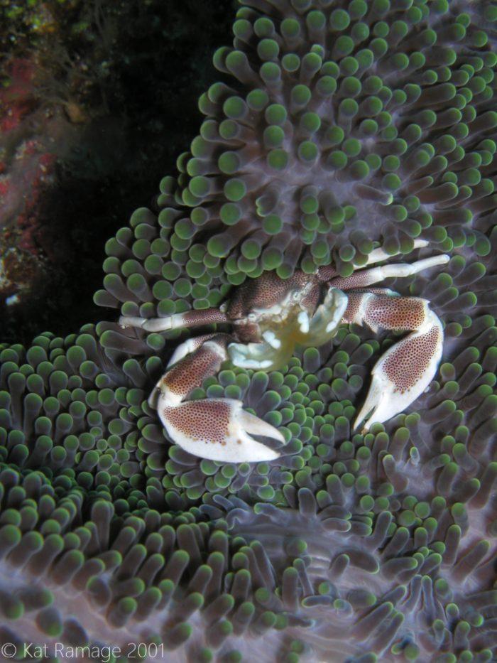Porcelain crab, anemone