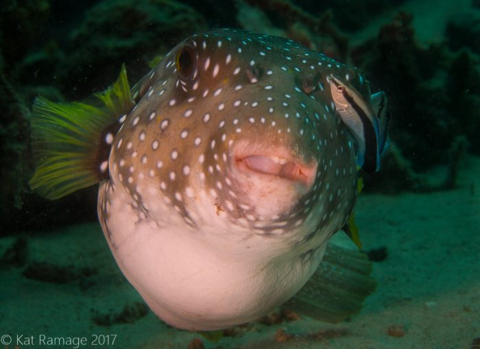 White spotted puffer, cleaner wrasse, Coral Bommie, Pemuteran, Bali, Indonesia, underwater photo