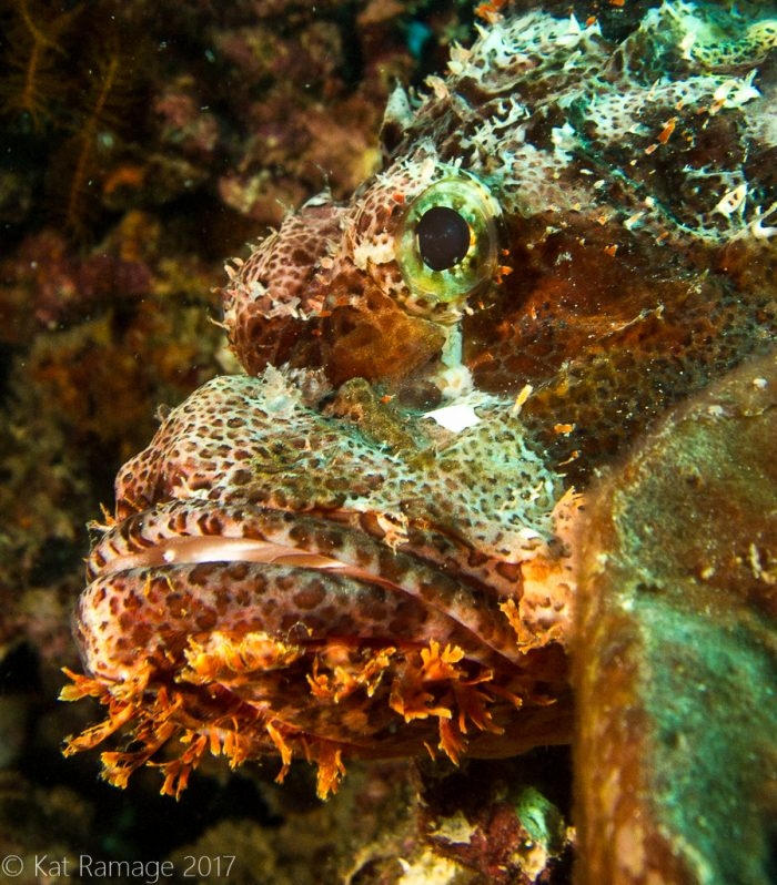 Scorpionfish, Pemuteran, Bali, Indonesia, Underwater photo