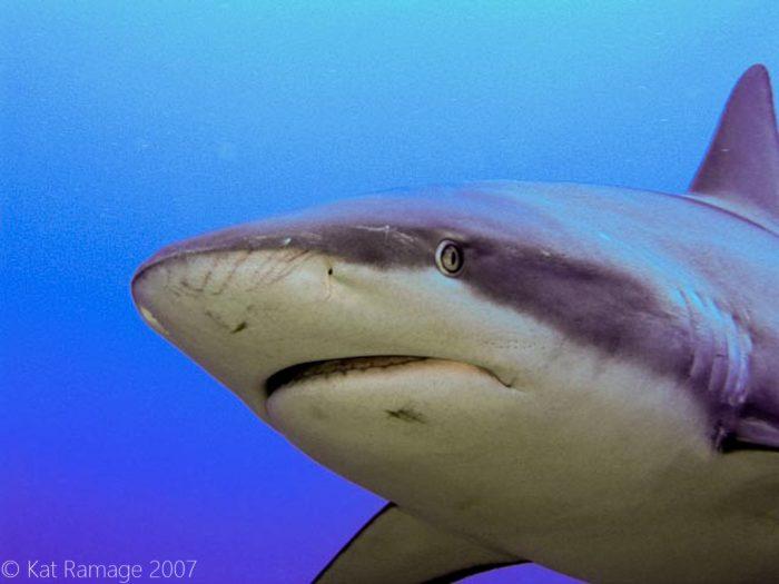 Reef shark, Roatan, Honduras