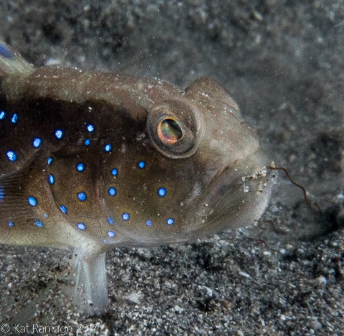 Sand shrimpgoby, Mucky Pirates Bay, Pemuteran, Bali, Indonesia