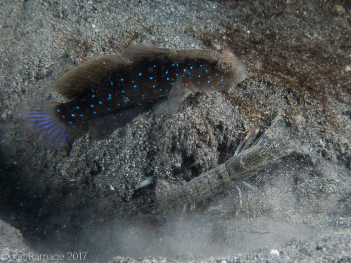 Sand shrimpgoby, shrimp, Mucky Pirates Bay, Pemuteran, Bali, Indonesia