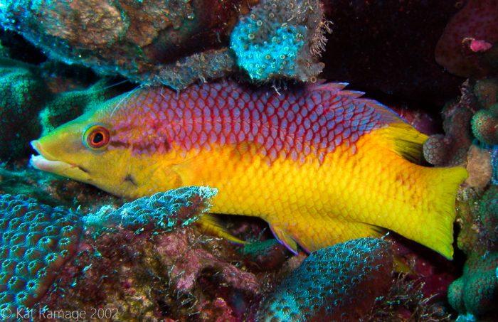 Spanish hogfish, Bonaire