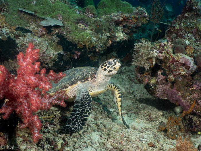 Hawksbill turtle, Eel Garden, Menjangan, Bali, Indonesia