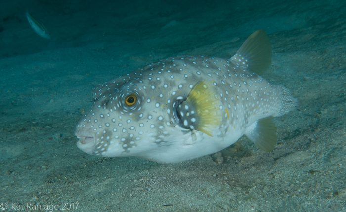 White-spotted puffer, Coral Bommie, Pemuteran, Bali, Indonesia, UW photos