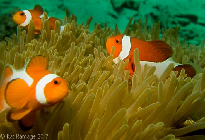 False clownfish, anemone, Dreamland, Menjangan, Indonesia