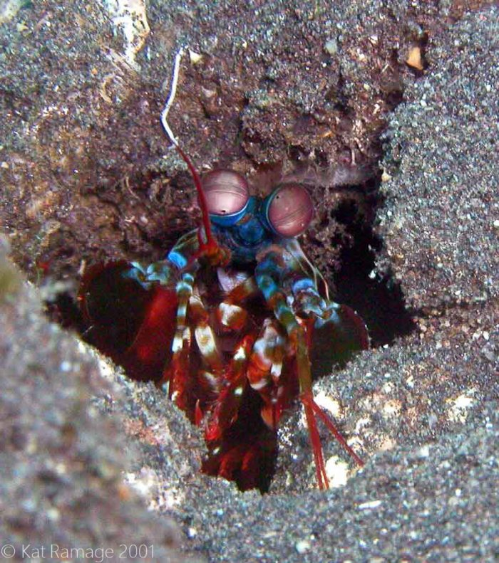 Mantis shrimp, Indonesia, Underwater photo