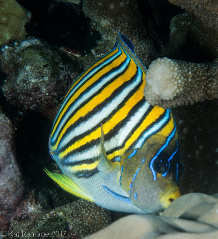 Regal angelfish, Napoleon Reef, Pemuteran, Bali, Indonesia, UW photos