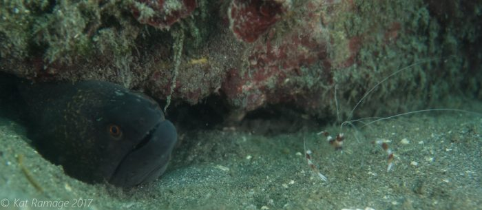 Moray eel, banded coral shrimp, Mucky Pirates Bay, Pemuteran, Bali, Indonesia