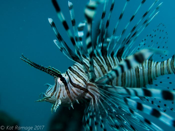 Lionfish under pier, Mucky Pirates Bay, Pemuteran, Bali, Indonesia