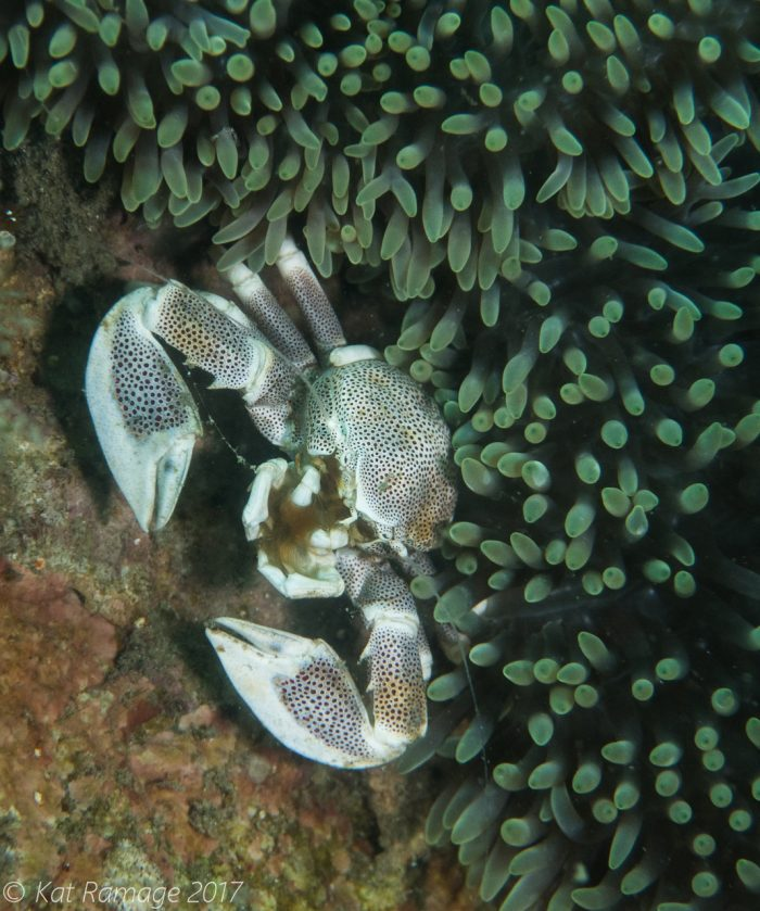 Porcelain crab, anemone, Mucky Pirates Bay, Pemuteran, Bali, Indonesia