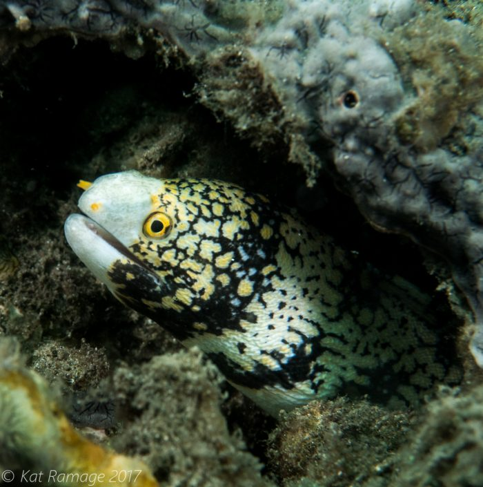 Starry moray eel, Mucky Pirates Bay, Pemuteran, Bali, Indonesia